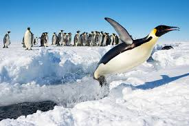 file penguin in antarctica jumping out of the water jpg