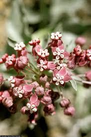 nevada native plants large image for asclepias uncialis ssp ruthiae ruth u0027s milkweed
