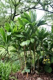 ti plant file ti plant cordyline fruticosa jpg wikimedia commons