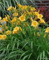 stella daylily stella de oro standard oakes daylilies wholesale