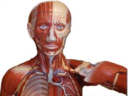 Human Anatomy And Physiology Videos Ap 1 Classroom Models