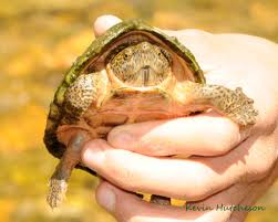 Ringed Map Turtle Field Herp Forum U2022 View Topic Spring Break Trip To Ar U0026mo