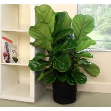 Fiddle Leaf Fig Tree Care by Gallery Of Fiddle Leaf Fig Tree Care With Dfebf Fd Be Dafafeb On