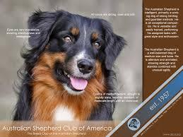 australian shepherd club of america online advertisement asca