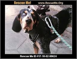 bluetick coonhound kennels in ga georgia bluetick coonhound rescue u2015 adoptions u2015 rescueme org