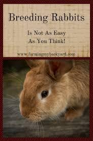 breeding rabbits is not as easy as you think farming my backyard