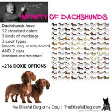 australian shepherd eye color genetics dachshunds have over 200 possible coat color size and coat type