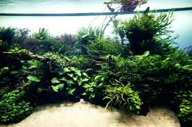 amano aquascape amano aquascaping of the beautiful planted tropical freshwater