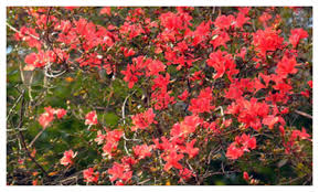 beautiful azalea flowers in zhangjiajie china travel news