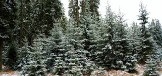 christmas tree cutting permits up for grabs in b c