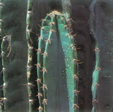 peruvian apple cactus a portrait of a house plant howstuffworks