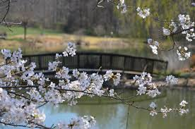 where to spot stunning cherry blossoms in virginia