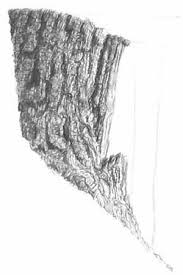 redwood tree sketches pen ink depictions of trees sprouting into