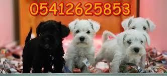 white miniature schnauzer Dogs Pinterest
