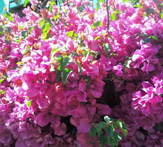 how to grow crazy bougainvillea in las vegas gardening on mars