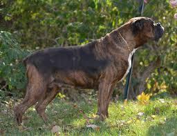 boxer dog female rescued boxers adoption