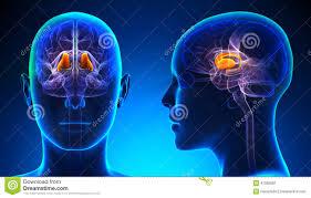 3d Head Anatomy Female Thalamus Brain Anatomy Blue Concept Stock Illustration