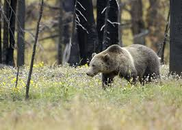 officials move closer delisting yellowstone grizzlies mtpr