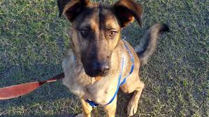 belgian malinois brindle belgium malinois possible mix unsure for adoption in al