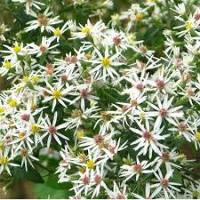 battery plant database white wood aster eurybia divaricata