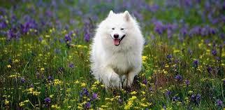 american eskimo dog breeders american eskimo dog dog breed standards