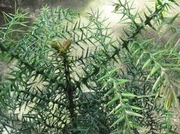 var araucaria cunninghamii araucariaceae hoop pine moreton bay pine