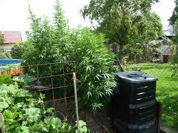 cannabis im garten file cannabis plant 12 jpg wikimedia commons