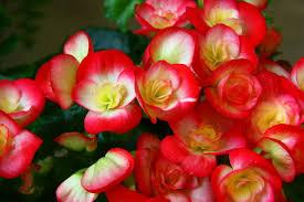 begonia flower best flower s care begonia