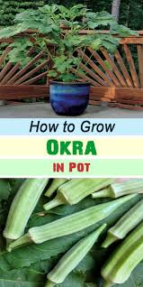 best 25 growing okra ideas on pinterest beginner vegetable