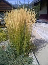 40 best grasses in my garden images on ornamental