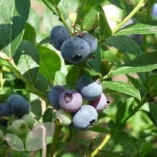 mail order fruit blueberry patriot mail order plants for sale blackmoor nurseries