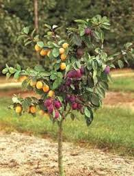 mini fruit trees cherry plum need to find these in the us i