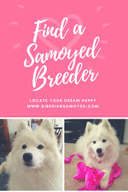 american eskimo dog rescue indiana samoyed breeders u2013 the samoyed