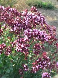 origanum rosenkuppel bluestone perennials