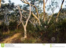 eucalyptus trees lining up a path in the australian bush stock