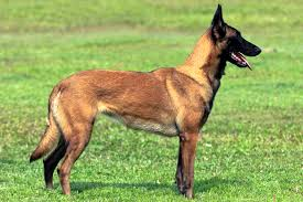 belgian shepherd uk breeders police dog breeds belgian malinois