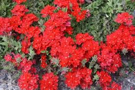 Verbena Flower The Best Verbena For The Garden And Container Plant Delights Nursery