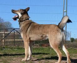 belgian shepherd x alaskan malamute kane u2013 3 year old male belgian shepherd cross malamute dog for