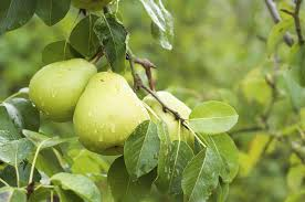 what is the symbolism of a pear tree synonym