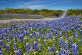 texas bluebonnets images and prints images from texas