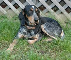 bluetick coonhound gascon bluetick coonhound hardy hunting hound