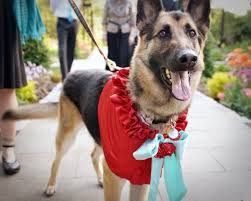 urban dog ring holder images 27 dogs who make exceedingly adorable ring bearers jpg