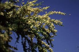 texas native plants database vachellia rigidula wikipedia