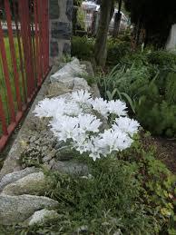 Scottish Rock Garden Forum by Edraianthus Niveus Rock Gardening Pinterest Alpine Plants