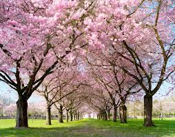 cherry blossom trees wallpaper wall mural wallsauce cherry blossom trees wall mural photo wallpaper