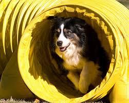 australian shepherd san diego dogbreedz photo keywords california shepherd performance dog