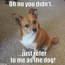 Pomeranian Meme - oh no dog imgflip