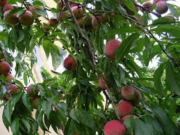 Apple Tree In My Backyard Growing Peach Trees Learn About Proper Care Of Peach Trees