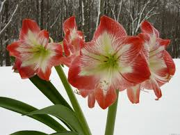 Amaryllis Flowers Mlewallpapers Com Amaryllis In Snow I