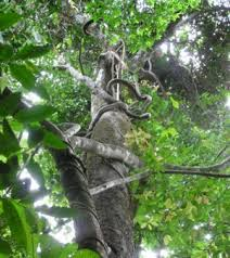 Tropical Climbing Plant - forest for the vines climbing lianas could squeeze tropical
